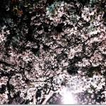 【Diary】芦屋美術館の夜桜