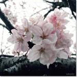 【Diary】谷崎潤一郎記念館の桜