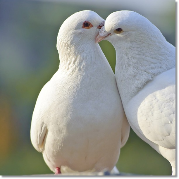 bigstock-Two-Loving-White-Doves-11299400-810x810