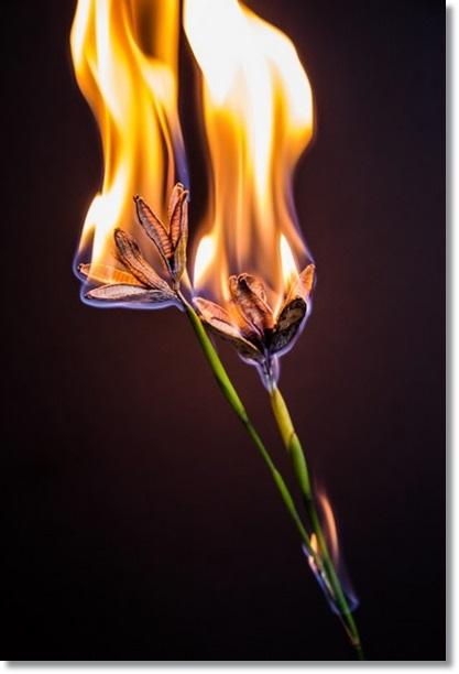 fire-flowers
