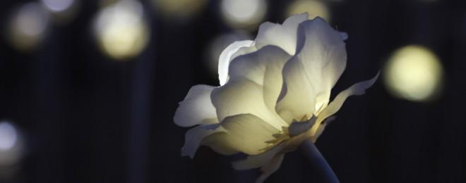 rose-3920930_1920